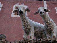 Corderos en una terraza en Mzik (Imlil)